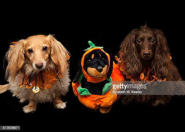 halloween dogs - animal costume stock pictures, royalty-free photos & images