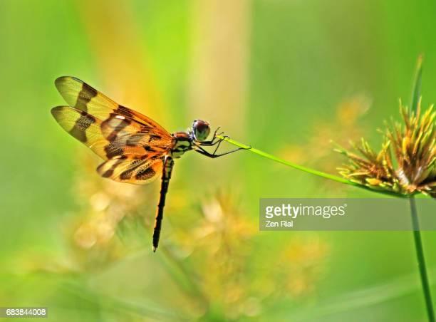 Halloween Pennant Dragonfly - Celithemis eponina in Martin County, Florida, USA