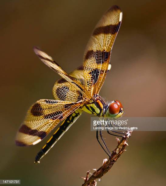halloween pennant dragonfly (celithemis eponina) - botanical garden stock pictures, royalty-free photos & images