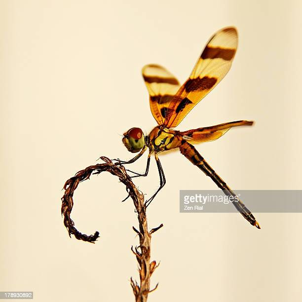 halloween pennant dragonfly - stuart florida stock pictures, royalty-free photos & images