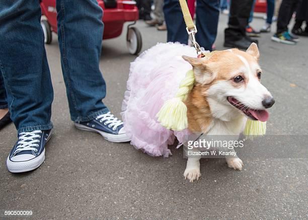 halloween pets - goldilocks stock photos and pictures