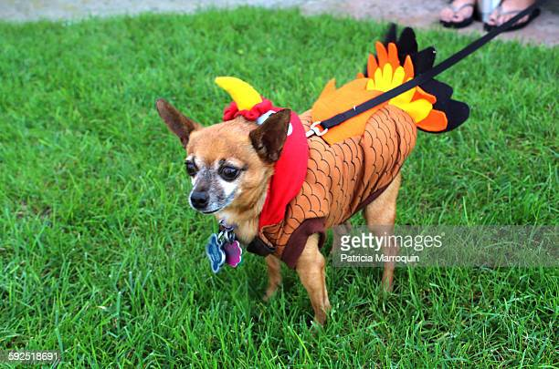 halloween pets - dog turkey stock pictures, royalty-free photos & images