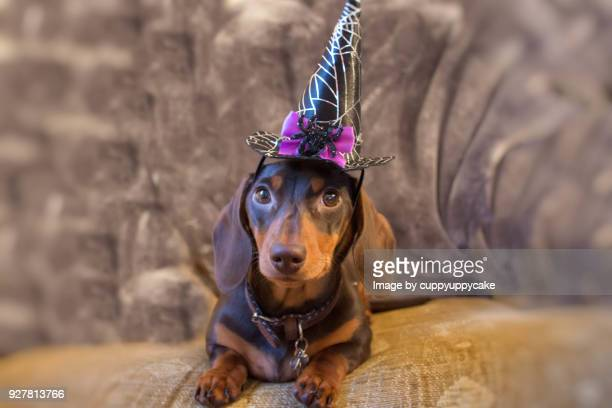 halloween puppy - dachshund holiday stock pictures, royalty-free photos & images