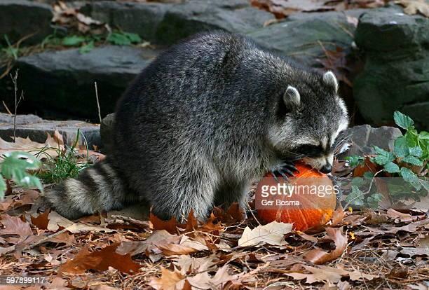 Halloween Raccoon - Pumpkin Lover