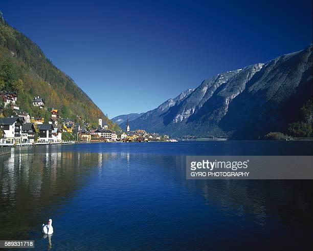 hallstatter lake and mountain range, austria - freshwater bird stock photos and pictures