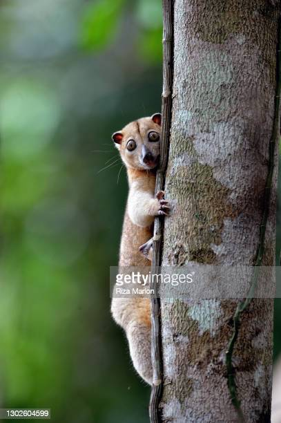 halmahera cuscus - sulawesi stock pictures, royalty-free photos & images
