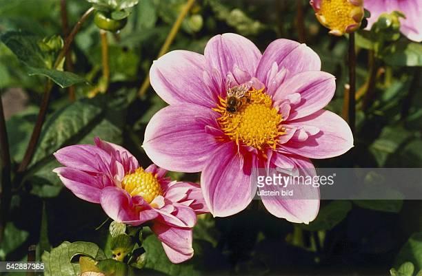 Halskrausendahlie der Sorte Herz As Familie der Korbblütler Auf der Blüte sitzt eine Biene