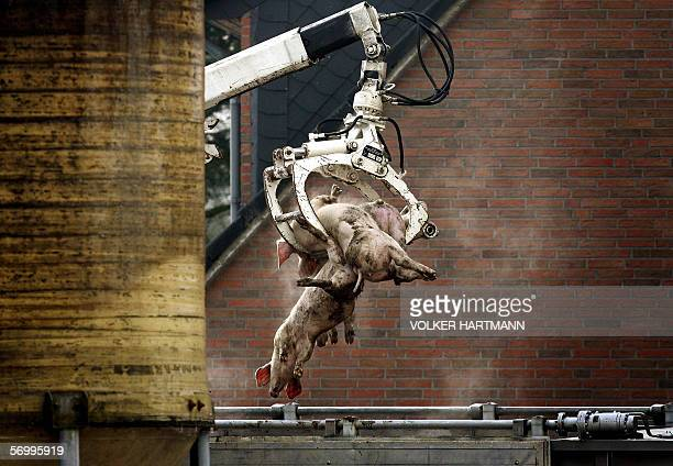 A crane lifts culled pigs into a container on a farm where 80 pigs died of swine fever 04 March 2006 in Haltern northern Germany Veterinarians...