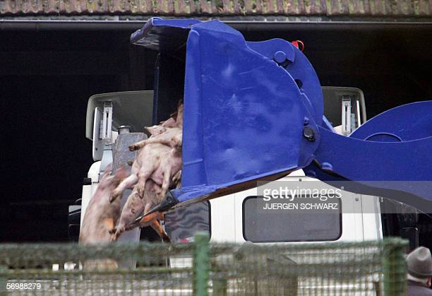 Dead pigs are shoveled into a truck on a farm where 80 pigs died of swine fever 03 March 2006 in Haltern northern Germany Veterinarians started to...