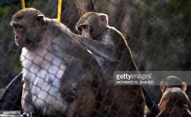 Hamadrya baboons are seen inside their enclosure at the Giza zoo in Cairo on February 25 2015 Khedive Ismail the ruler of Egypt from 18631879 built...