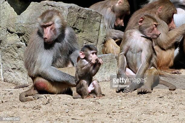 Hamadryas Baboon Family