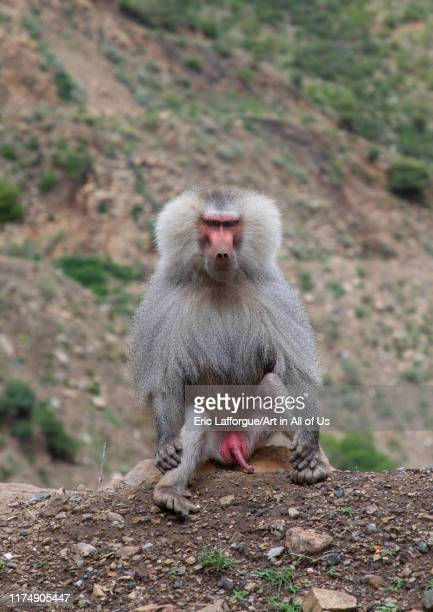 Hamadryas baboon papio hamadrya Central region Asmara Eritrea on August 14 2019 in Asmara Eritrea