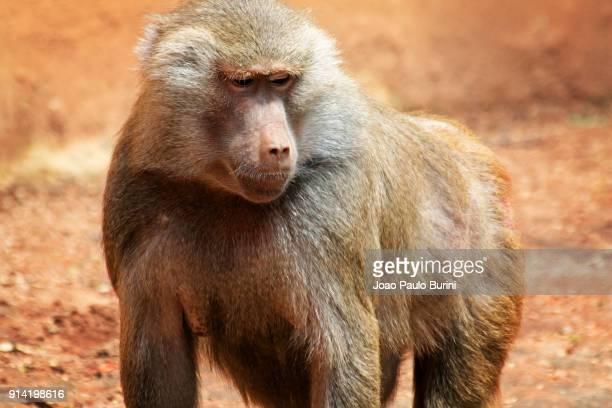 hamadryas baboon (papio hamadryas) - baboon stock photos and pictures