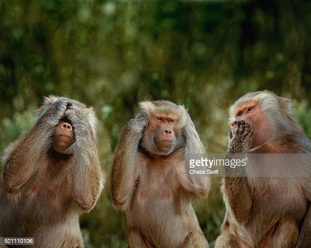 hamadryas baboons - see no evil hear no evil speak no evil stock pictures, royalty-free photos & images