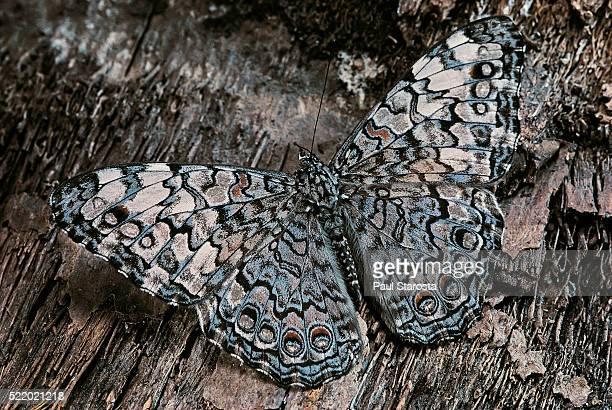 Hamadryas februa (gray cracker butterfly, ferentina calico)