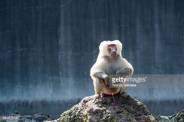 a hamadryas sitting and peeing on the rock - condiloma foto e immagini stock