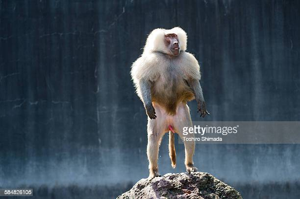 a hamadryas standing on the rock - baboon stock pictures, royalty-free photos & images