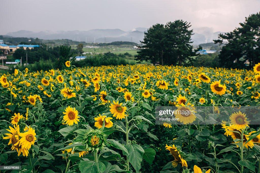 Haman sunflower field : Stock Photo