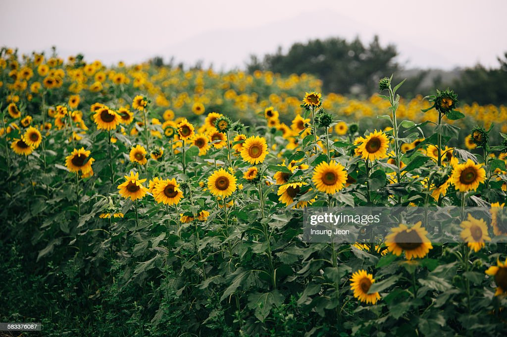 Haman sunflower field : Stock Photo
