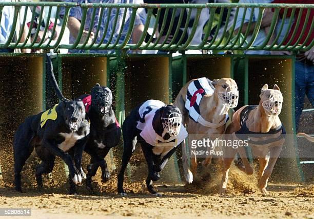 Hamburg Finallauf der GreyhoundRueden