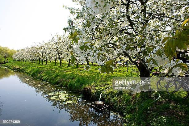 Hamburg old country Cherry blossom at the canal Hamburg Hamburg Germany