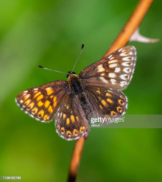 hamearis lucina – duke of burgundy butterfly aberration - duke stock pictures, royalty-free photos & images