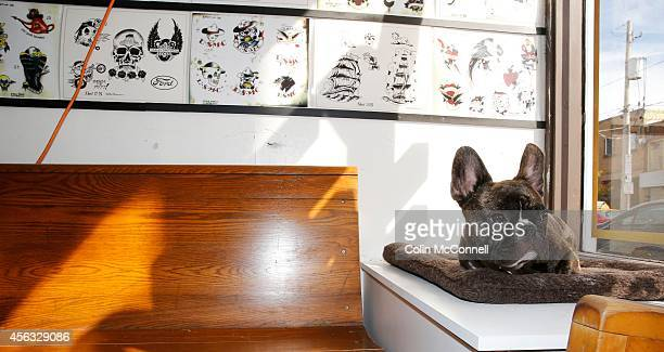 Hamilton a 1 r old French Bulldog sits in the window of the store he is one of the random tattoos that the machine puts outOkeyDoke Tattoo parlour on...