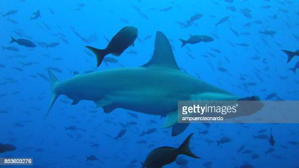 hammer shark - biggest stock pictures, royalty-free photos & images