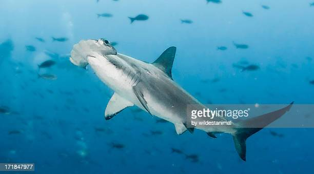 hammerhead - hammerhead shark stock pictures, royalty-free photos & images