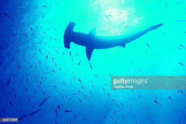 hammerhead shark (sphyrna mokarran) amongst fish - hammerhead shark stock pictures, royalty-free photos & images
