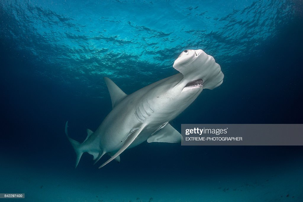 Hammerhead shark in the sea : Stock Photo