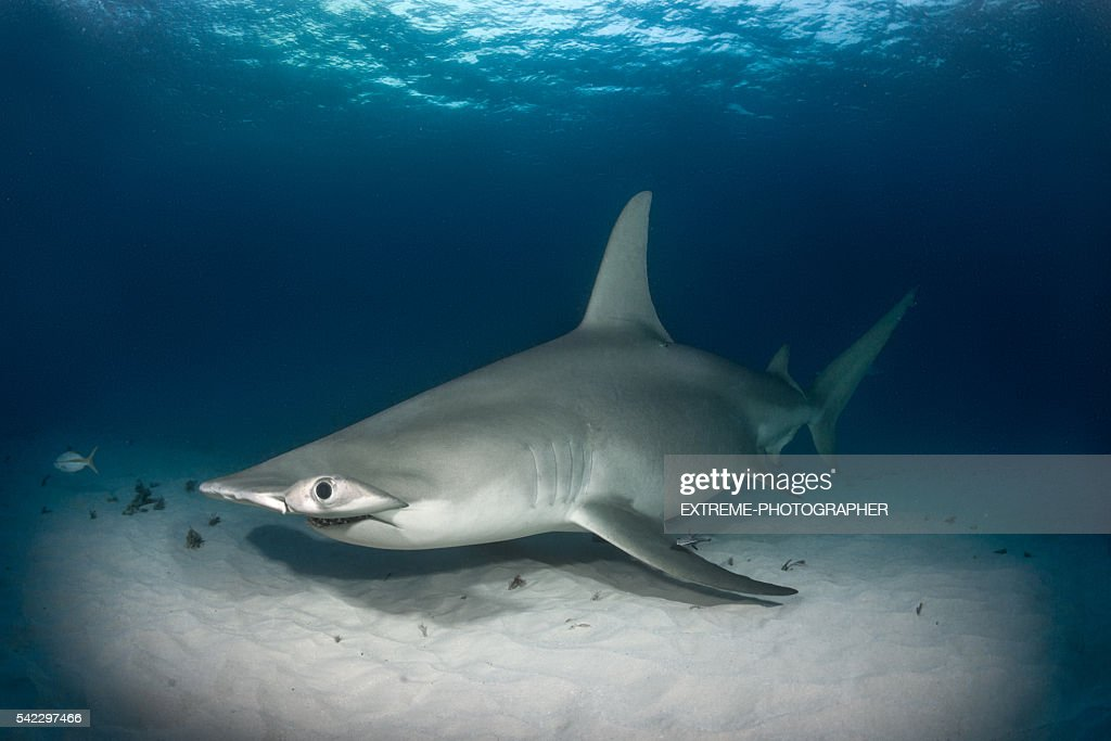 Hammerhead shark on the ocean floor : Stock Photo