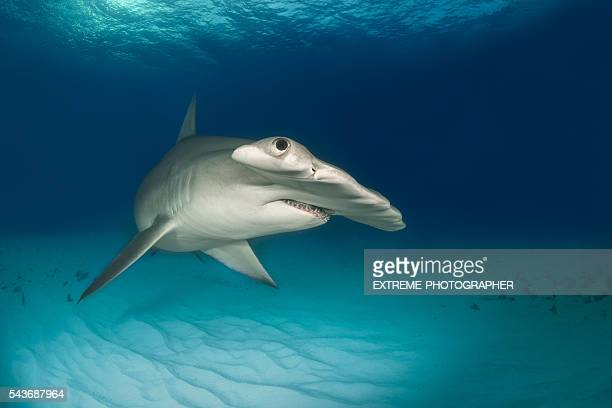Hammerhead shark on the ocean floor