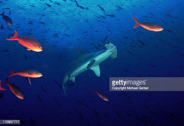 hammerhead shark - hammerhead shark stock photos and pictures