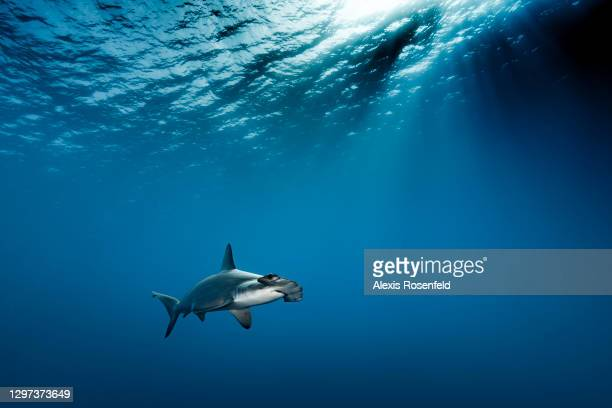 Hammerhead shark swimming near Daedalus Island on May 01 off the coast of Egypt, Red Sea. Daedalus Island is a hotspot for scuba diving in Egypt to...