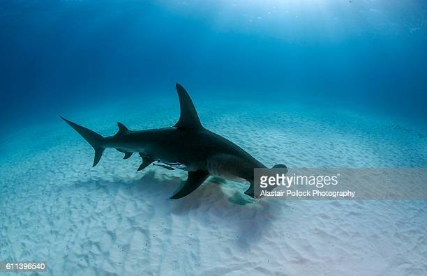 Hammerhead shark with dorsal fin presented
