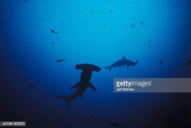 hammerhead sharks - hammerhead shark stock pictures, royalty-free photos & images
