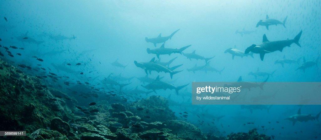 Hammerheads At Darwin Island : Stock Photo