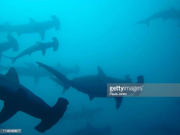hammerheads, galapagos islands - hammerhead shark stock pictures, royalty-free photos & images