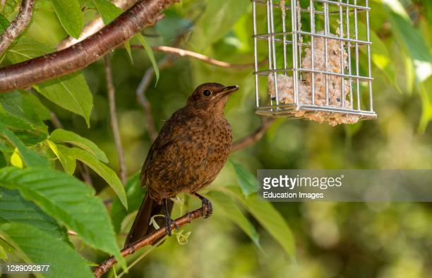 Hampshire, England, UK, A young Blackbird sat in a Flowering Cherry tree.
