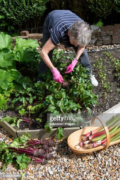 Hampshire, England, UK, Elderly woman picking beetroot and rhubarb from her small kitchen garden.