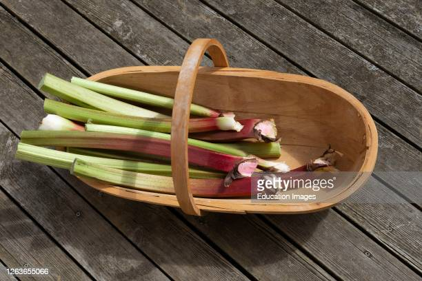 Hampshire, England, UK, Freshly picked rhubarb placed in a wooden garden trugg.