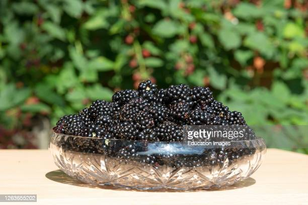 Hampshire, England, UK, Harvested fresh blackberries in a glass bowl.