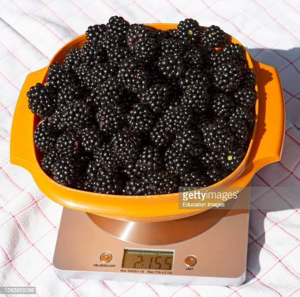 Hampshire, England, UK, Harvested fresh blackberries in a plastic bowl on digital scales for weighing. The weight here is 2lbs 15ozs.