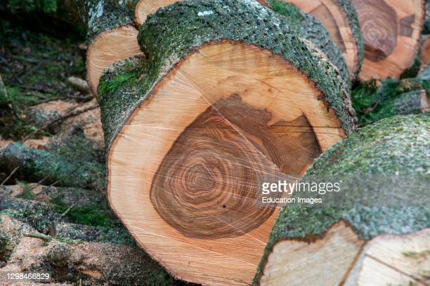 Hampshire, England, UK, Pattern on cut section of an Ash tree.
