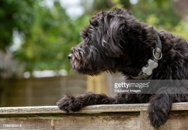 Hampshire, England, UK, Portrait of a black borderpoo dog. A cross between a Border Terrier and a Poodle looking over a garden fence.