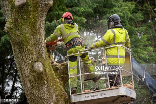 Hampshire, England, UK, Trainee tree surgeon felling an Ash tree from cherry picker platform. Under instruction from trainer person.