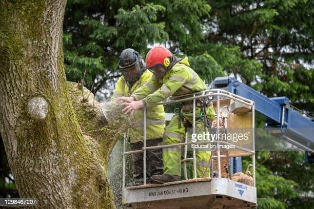 Hampshire, England, UK, Tree surgeon felling an Ash tree from cherry picker platform.
