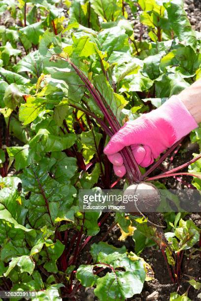 Hampshire, England, UK, Woman's hand pulling beetroot from a kitchen garden.