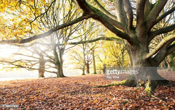 hampstead heath london, in autumn - beech tree stock pictures, royalty-free photos & images
